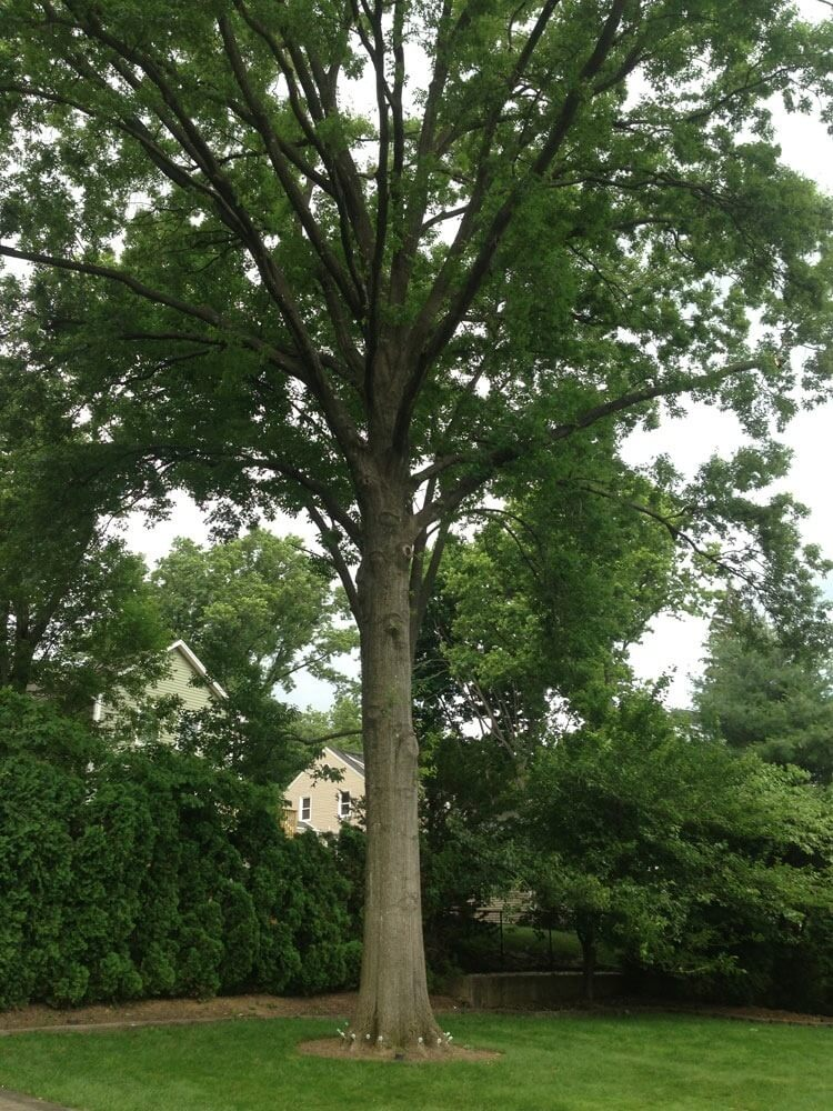 Tree Pruning Service In Northern Nj Arbor Ace